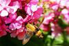 Hummingbird Moth-II