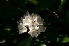 Finzel - Rhododendron