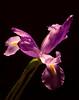 Anniversary Iris