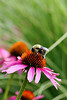 Bee on Cone Flower-I