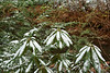 """Dormant Rhododendron"""