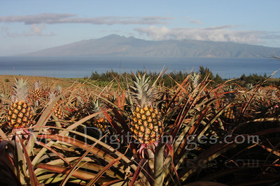 Kapalua Pineapples Overlooking Molokai