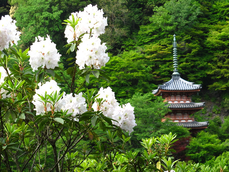 A thousand rhododendrons bloom in April and May
