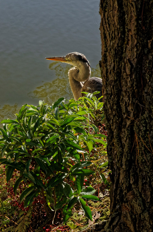 We were fortunate to catch sight of this heron at waterside.
