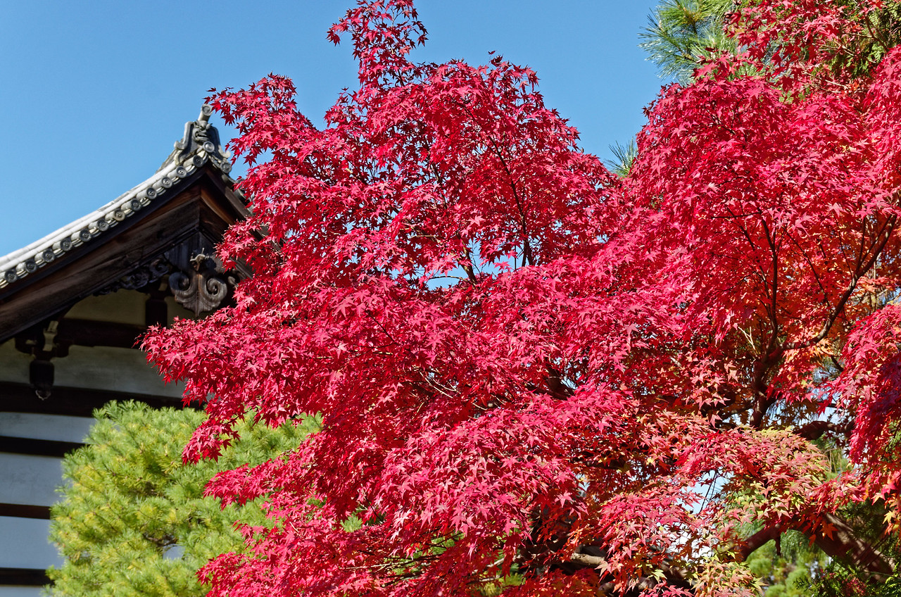 Sub-temple roof amid maple leaves