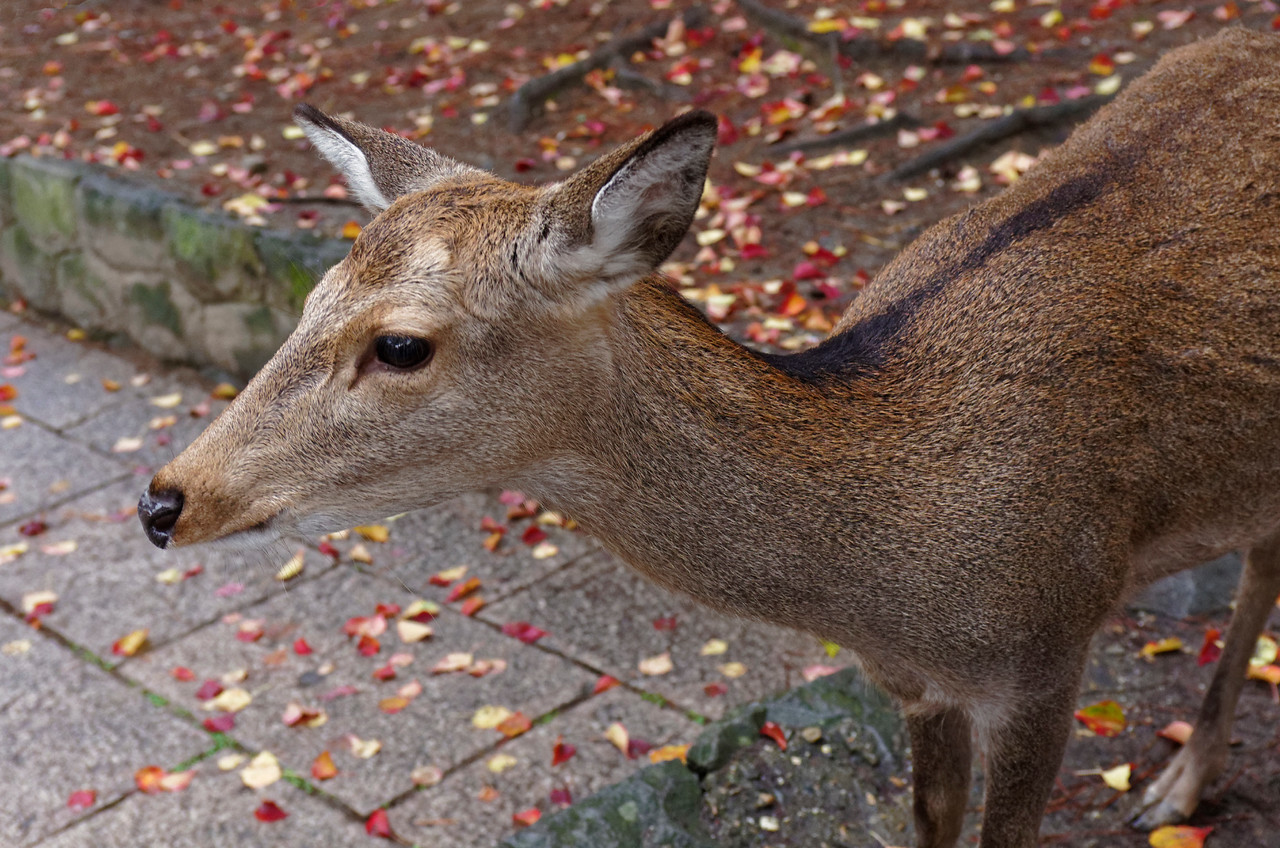 Over a thousand sika deer roam freely around the park. Once considered divine and sacred, they are today protected as national treasures.