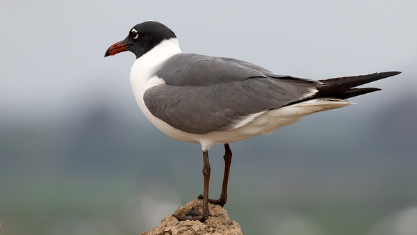 Laughing Gull @Brownsville Landfill