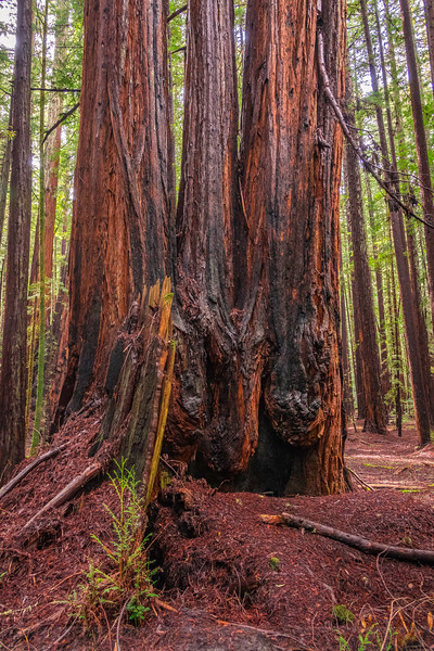 A Walk at Armstrong Redwoods