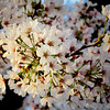 Macro of cherry blossoms in Washington, DC - a color image