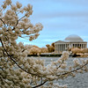 Close-up view of Japanese cherry blossoms in Washington, DC - a false-color image