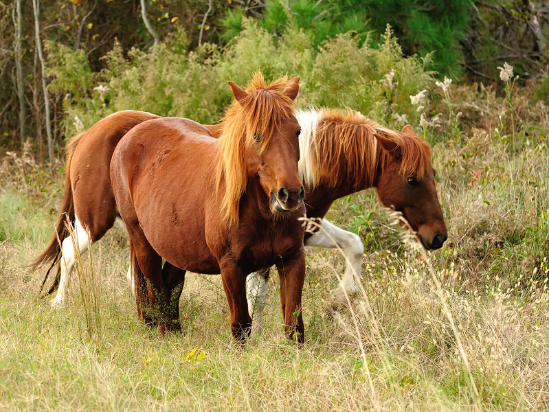 A color image of Chincoteague ponies on Virginia's Eastern Shore