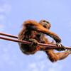 Orangutan on ropes looks down- a color image