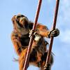 Orangutan climbs ropes- a color image