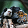 Two marmosets hugging in a Canary Island zoo - a color image