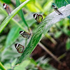 Glasswing butterflies in a Canary Island garden - a color image