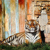 Bengal tiger in a Canary Island zoo - a color image