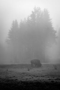 Bison, Morning Fog, Yellowstone National Park