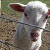NOT a baby goat, but hey, still cute