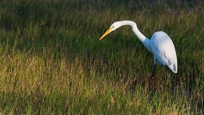2016 White Egret 0418 -1
