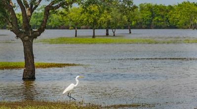 CRV_9048 egret wading