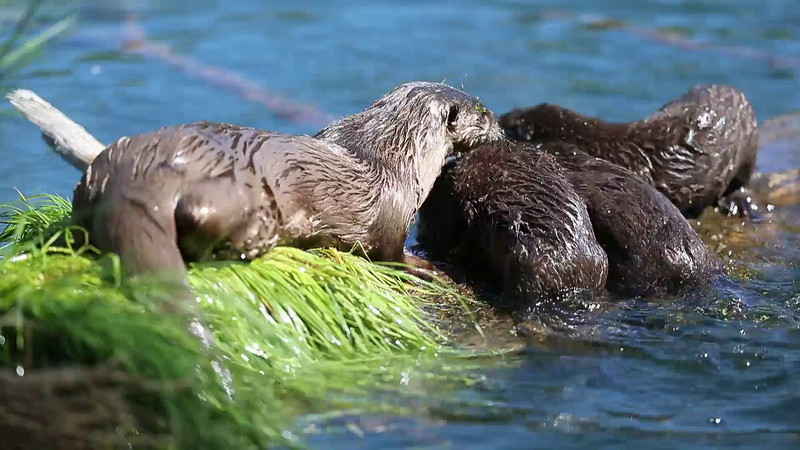 River Otters - 2