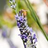 Bee(5x7)
