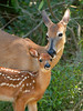 Deer Fawn and Doe 519