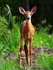 Deer Fawn 3741