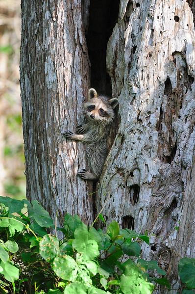 Raccoon 5227