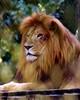 Lion1372