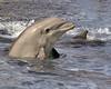 Dolphin 8427