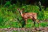 Deer Fawn 3756