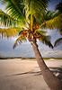 Palm tree 4759a 8x10