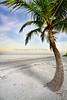 Beach Palm 3665