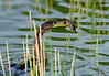 Anhinga and fish 6420