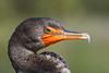 Cormorant206