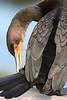 Cormorant 102