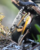 Anhinga and chick 6267