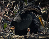 Anhinga and chicks 7688