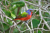 Painted Bunting 8385