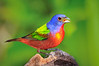 Painted Bunting 5809 2