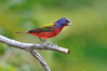 Painted Bunting 8342