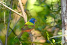 Painted Bunting  2723 DM