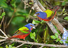 Painted Buntings 5774