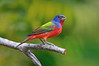 Painted Bunting 8425