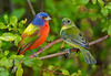 Painted Buntings 499
