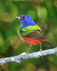 Painted Bunting 5642 3
