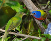 Painted buntings 5866