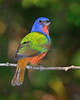 Painted Bunting 7049