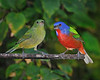 Painted Buntings 5239